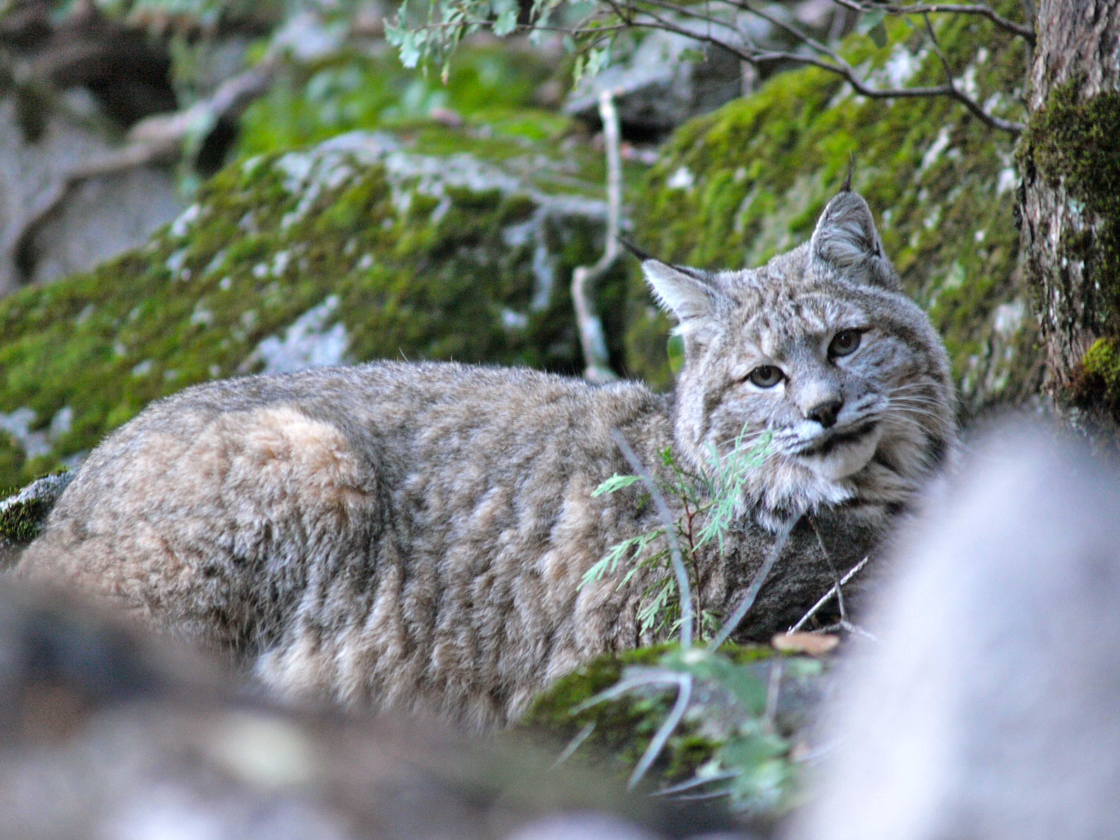 Crossing Paths Bobcat