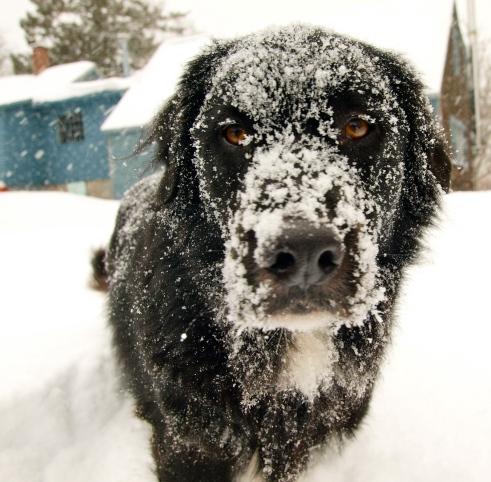 Snowy Bowie