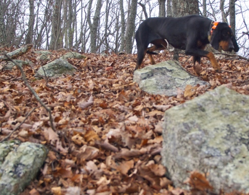 A black & tan coonhound, one of my many radio-collared hunting hounds I met on my walk yesterday.