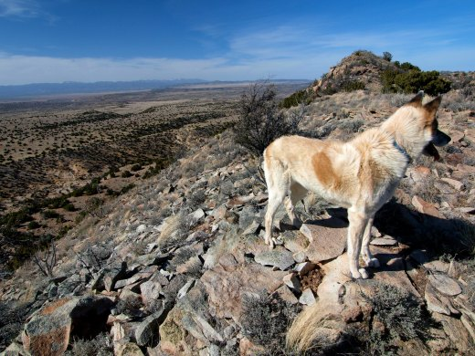 The Blonde Coyote on the windy summit of Madrid Mountain