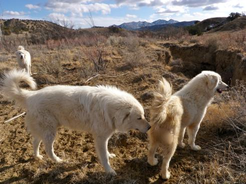 Maremma Sheep Dogs, minding the goat herd