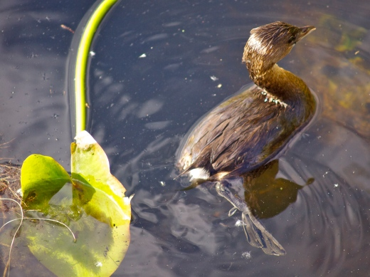Little Bird, Big Swamp