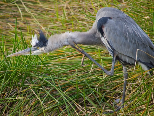 Great Blue Heron in a rare moment of awkwardness