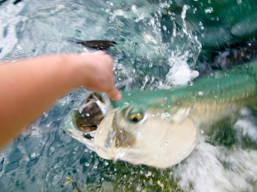 Tarpon Takes the Bait!