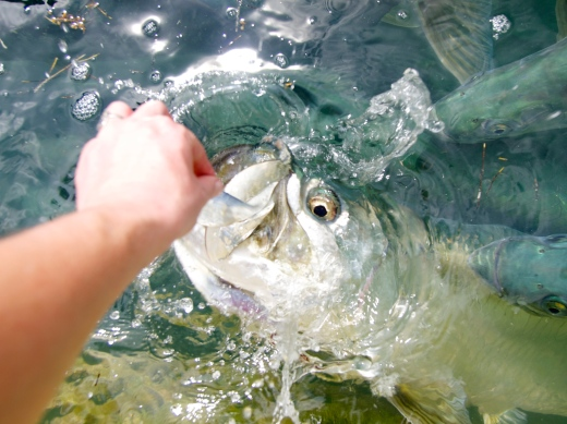 Tarpon Takes the Bait II