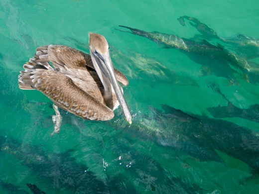 Pelican & Tarpon