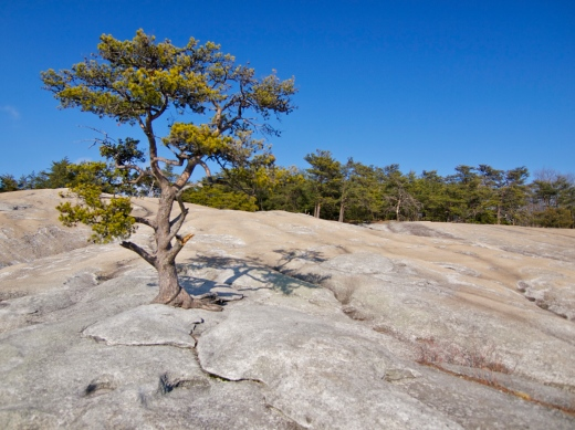 Summit tree, Stone Mountain