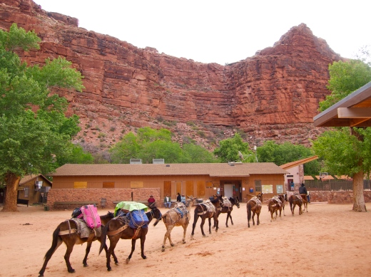 A packtrain trotting down Main Street in Supai