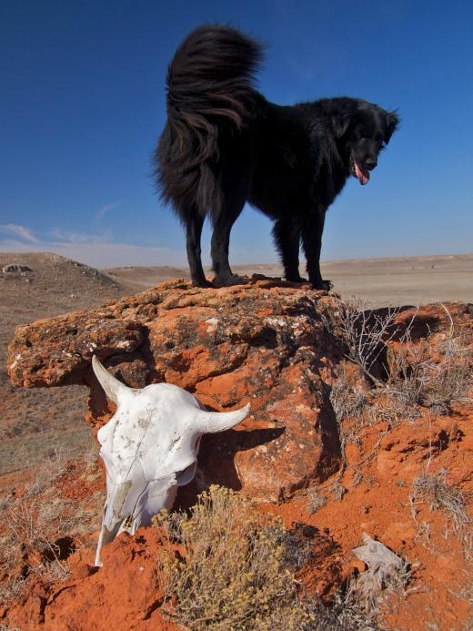 Kansas Cow Skull & D.O.G.