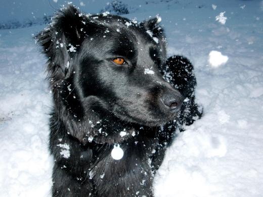 Snowy D.O.G.