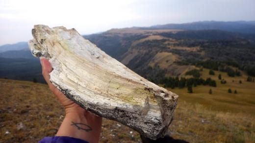 Petrified Wood , Gallatin Range